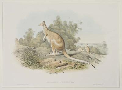 Onychogalea Unguifer (Nail-Tailed Kangaroo)