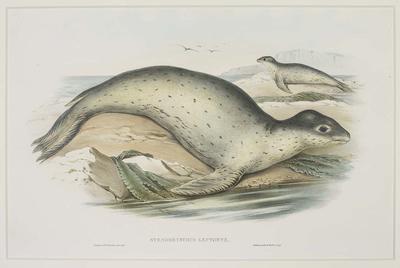 Stenorhynchus Leptonyx (Sea Leopard)