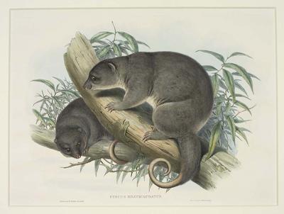 Cuscus Brevicaudatus (Short-Tailed Cuscus)