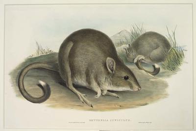 Bettongia Cuniculus (Tasmanian Jerboa - Kangaroo)