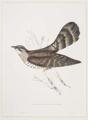 Cuclus Sparverioides (Large Hawk Cuckoo)